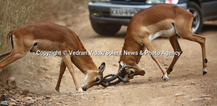 Pictured:  A motorist is forced to stop his car as he comes across an unusual hazard in the road - two antelopes fighting.<br /> <br /> The two males can be seen fiercely battling by locking horns in front of the car.<br /> <br /> As the antelopes fought it out, the onlooking driver seized the opportunity to snap photographs from his phone.  SEE OUR COPY FOR FULL DETAILS.<br /> <br /> Please byline: Vedran Vidak/Solent News<br /> <br /> © Vedran Vidak/Solent News & Photo Agency<br /> UK +44 (0) 2380 458800