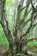 Birch tree in Kinsman Notch of the White Mountains, New Hampshire USA during the spring months