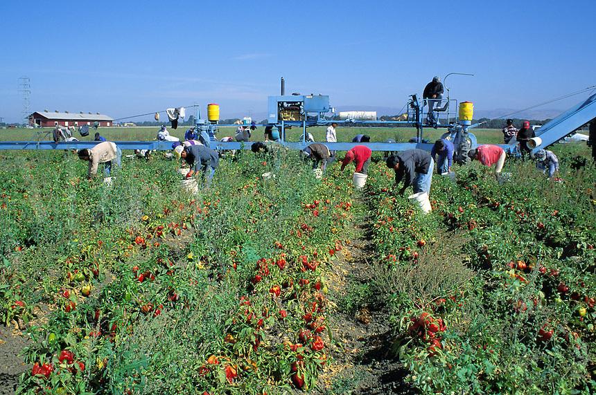 Migrant Hispanic workers harvest peppers, Salinas, California