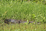 Brazoria County, Damon, Texas; a large American Alligator warming up in the sun at the edge of the slough, with several baby alligators on it's back