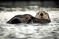 Sea Otter, Homer Alaska.