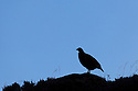 Red grouse {Lagopus lagopus scoticus} silhouetted at  dawn, Derwent Edge, Peak District National Park, Derbyshire, UK, August.