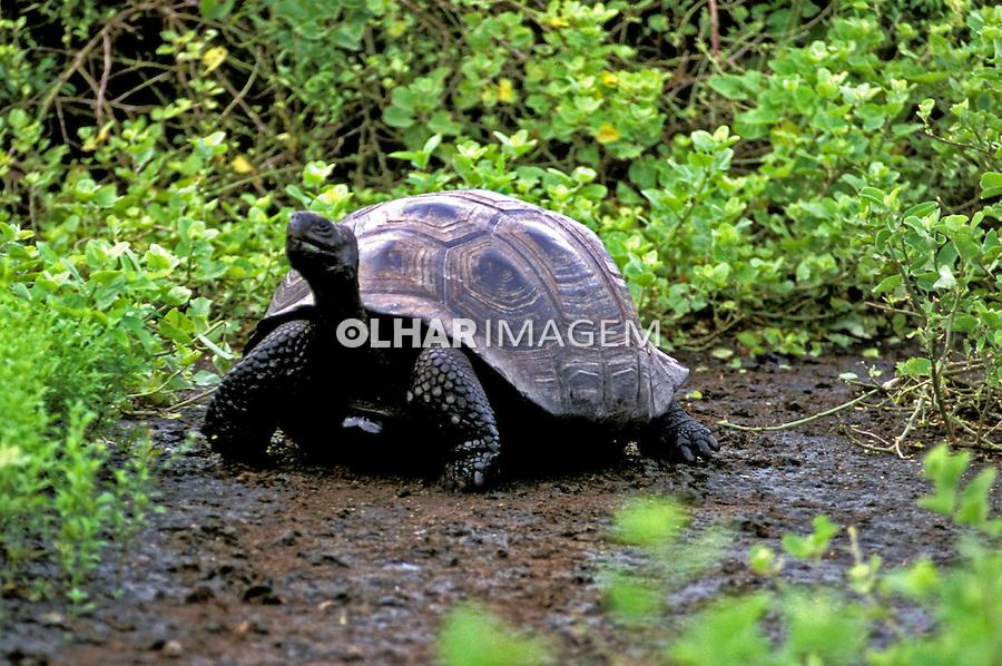 Animais. Reptis. Tartaruga-gigante-de-galápagos (Chelonoidis elephantopus). Galápagos. Foto de Juca Martins.