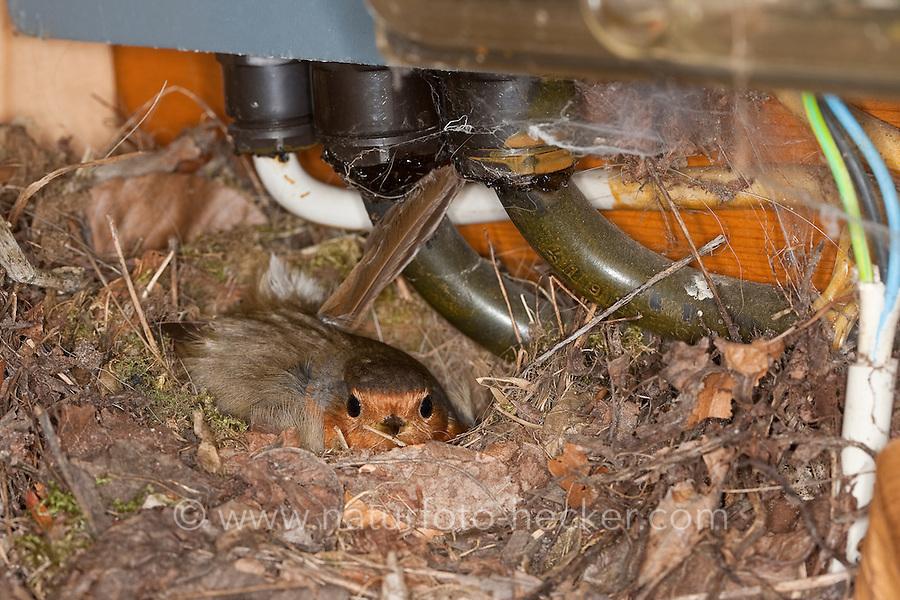 Rotkehlchen, Nest in einem Sicherungskasten, brütender Altvogel, Erithacus rubecula, robin