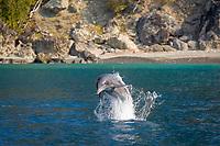 Indo-Pacific bottlenose dolphin, Tursiops aduncus, jumping, Chichi-jima, Bonin Islands, Ogasawara Islands, Japan, Pacific Ocean