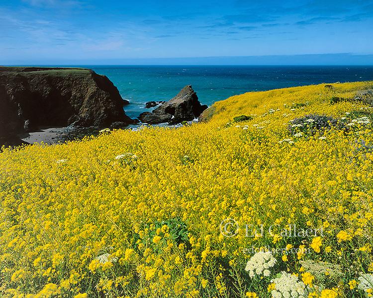 Mustard, Iverson Point, Point Arena, Mendocino County Coast, California