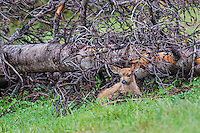 Columbian black-tailed deer (Odocoileus hemionus columbianus) fawn resting/hiding by fallen tree. Pacific Northwest.  Summer.