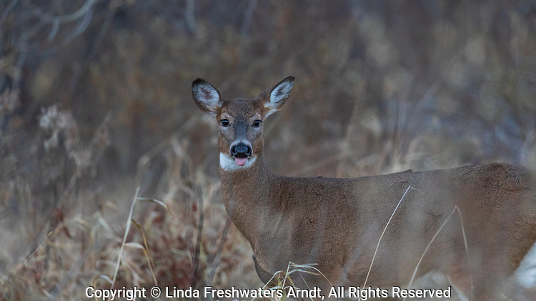 White-tailed doe sticking out her tongue.