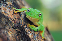 Australian Green Tree Frog (Litoria caerulea), adult perched on tree,  Australia