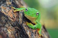 Australian Green Tree Frog (Litoria caerulea), adult perched on tree,  Australia