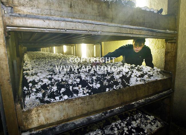 dreumel 270103 champignonkweeker antony de vree<br />bedrijfsrepo.<br />foto frans ypma APA-foto
