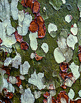 Sycamore Bark, San Rafael Wilderness, Los Padres National Forest, California