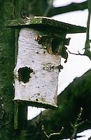 Specht, Buntspecht hat einen Nistkasten, Vogelnistkasten, Meisenkasten an der Seite aufgehackt und die Küken erbeutet, woodpecker has hacked a nest box, bird nest box on the side and captured the chicks