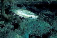 trout, Salvelinus sp., Cornino Lake, Friuli, Italy Cynoscion nebulosus