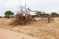 Tanzania. Tarangire National Park.  Elephant Damage to Tree.