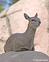 0604-1118  Klipspringer (Rock Jumper Antelope), Small Antelope on Boulders, Oreotragus oreotragus  © David Kuhn/Dwight Kuhn Photography