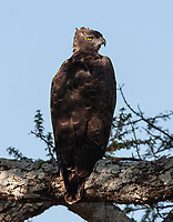 The Martial Eagle is one of the world's largest species.