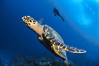 silhouette of scuba diver, hawksbill sea turtle, Eretmochelys imbricata, Cozumel, Mexico, Caribbean, Atlantic