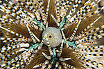 Anda, Bohol, Philippines; a detailed view of a brown and white banded sea urchin