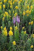 prairie blazing star and goldenrod, Mori Prairie, Iow