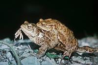 Erdkröte, Paarung, Kopulation, Kopula, Männchen Huckepack auf Weibchen, Krötenwanderung, Laichwanderung,  Erd-Kröte, Kröte, Bufo bufo, European common toad