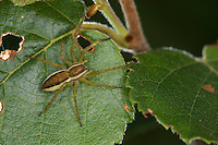 Gerandete Jagdspinne, Listspinne, Dolomedes fimbriatus, raft spider, raft-spider, Raubspinnen, Pisauridae