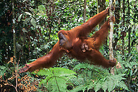 Sumatran Orangutan (Pongo abelii), mother with young, Gunung Leuser National Park, Sumatra, Indonesia, Asia