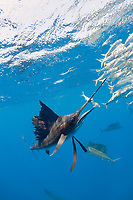 pelagic Atlantic sailfish, Istiophorus albicans or platypterus, seizes sardine from bait ball of Spanish sardines (aka gilt sardine, pilchard, or round sardinella), Sardinella aurita, off Yucatan Peninsula, Mexico (Caribbean Sea)