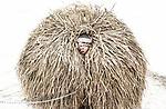 Un jeune villageois qui célèbre le festival d'hiver de Malanka pose pour un portrait en costume. La fête, qui consiste à s'habiller dans des costumes élaborés et à aller de maison en maison en groupe pour chanter des chansons traditionnelles, est célébrée le jour du Nouvel An du calendrier orthodoxe, une semaine après le Noël orthodoxe, Krasnoilsk, Ukraine, janvier 2018.