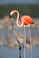 Young American Flamingo (Phoenicopterus ruber) being fed crop milk by an adult. Rio Lagartos Biosphere Reserve, Yucutan, Mexico. August.