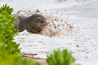 Hawaiian monk seal, Neomonachus schauinslandi, Critically Endangered endemic species, adult female resting on beach is splashed by surf on incoming tide, Canoe Beach, Kaanapali, Maui, USA, Pacific Ocean