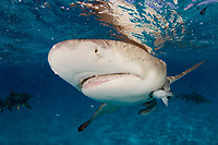 Lemon shark, Negaprion brevirostris, close up of snout, teeth and eye, with remora, Bahamas, Caribbean Sea, Atlantic Ocean