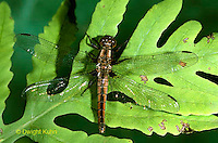 1O05-039b  Skimmer Dragonfly - Chalk-fronted Corporal female - Ladona julia