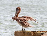 Juvenile brown pelican