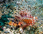 The spectacular and beautiful zebra lionfish is common in the Lembeh Strait (North Sulawesi, Indonesia).  Hardly ever did we have a dive where we didn't see at least one.