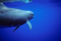 Pygmy Killer Whale, Feresa attenuata, Pacific Ocean
