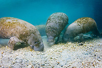 Florida Manatee (Trichechus manatus latirostris) Manatees sift through bottom sediment in search of food at the Three Sisters Springs, Crystal River,Florida