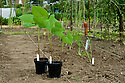 Planting out French bean seedlings, late May.