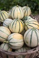 Europe/France/Provence-Alpes-Côte d'Azur/84/Vaucluse/Lubéron/Cavaillon/ Cheval-Blanc: Melons de Bernard Meyssard, producteurs de melons,, dans  sa melonnière