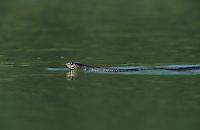 Texas Indigo Snake, Drymarchon corais erebennus, adult swimming, Starr County, Rio Grande Valley, Texas, USA, May 2002