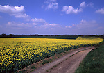 Europe, DEU, Germany, Northrhine Westphalia, Lower Rhine, Krefeld, Flowering rapeseed field in spring, Lonely way....[ For each utilisation of my images my General Terms and Conditions are mandatory. Usage only against use message and proof. Download of my General Terms and Conditions under http://www.image-box.com or ask for sending. A clearance before usage is necessary...Material is subject to royalties. Each utilisation of my images is subject to a fee in accordance to the present valid MFM-List...Contact | archive@image-box.com | www.image-box.com ]