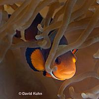 0321-1123  False Percula Clownfish (Ocellaris Clownfish), Amphiprion ocellaris, with Bulb-tipped Anemone, Entacmaea quadricolor  © David Kuhn/Dwight Kuhn Photography