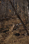 White-tailed doe well camouflaged in the shadows of a northwoods forest.