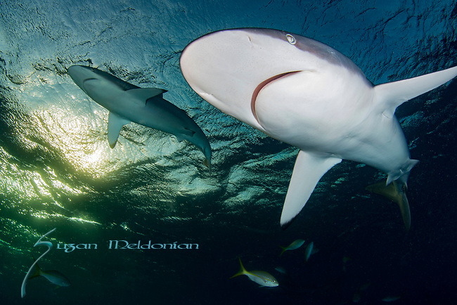 Carcharhinus perezii, Cuba Underwater, Jardines de la Reina, Protected Marine park underwater, Reef Sharks, Sharks, Sunlit Reef sharks overhead
