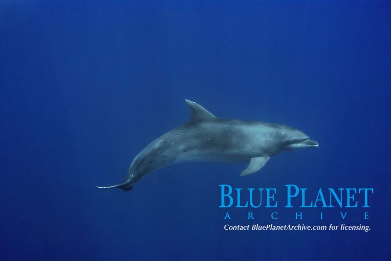 Bottlenose dolphin, Tursiops truncatus, swimming in open ocean, St. Peter and St. Paul's rocks, Brazil, Atlantic Ocean