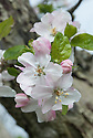 Apple 'Belle de Boskoop' in blossom, late April. A Dutch dual-purpose, dessert-culinary apple first discovered at Boskoop, near Gouda, in 1856. Grown all over Europe, and quite common in British gardens. A triploid that requires a pollinator. Sometimes sold as 'Schone van Boskoop'.