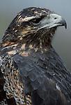 Black-chested buzzard eagle, Argentina