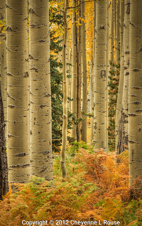 Ferns, Aspens and Evergreens - Arizona  - All rights reserved.