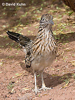 0610-1106  Greater Roadrunner (Chaparral Cock or Ground Cuckoo), Geococcyx californianus  © David Kuhn/Dwight Kuhn Photography