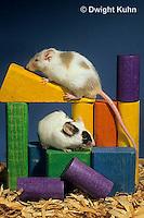 MU60-078z  Pet mouse - exploring